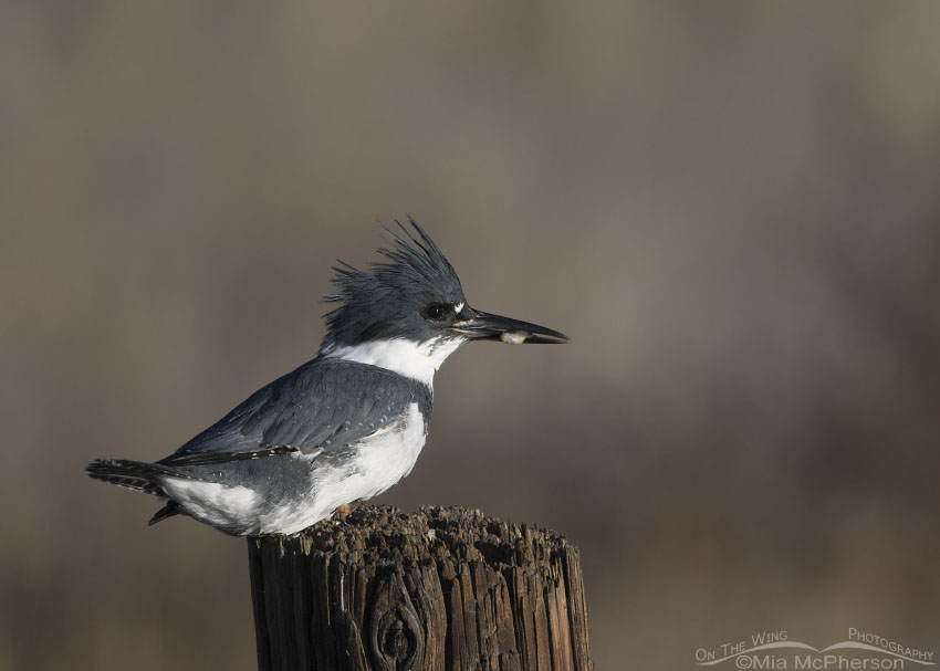 Male Belted Kingfisher with prey in his bill