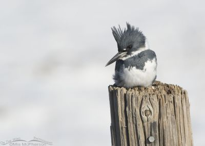 Male Belted Kingfisher and snow