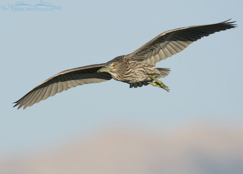 Flying juvenile Black-crowned Night Heron with Promontory Mountains in the distance