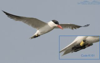 Caspian Tern Band K101 inflight over Bear River MBR with insert