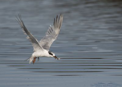 Nonbreeding adult Forster's Tern in flight with prey
