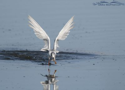 Forster's Tern lifting off from water with prey