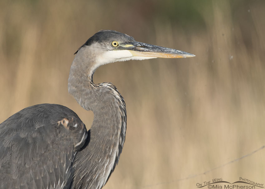 Portrait of a juvenile Great Blue Heron