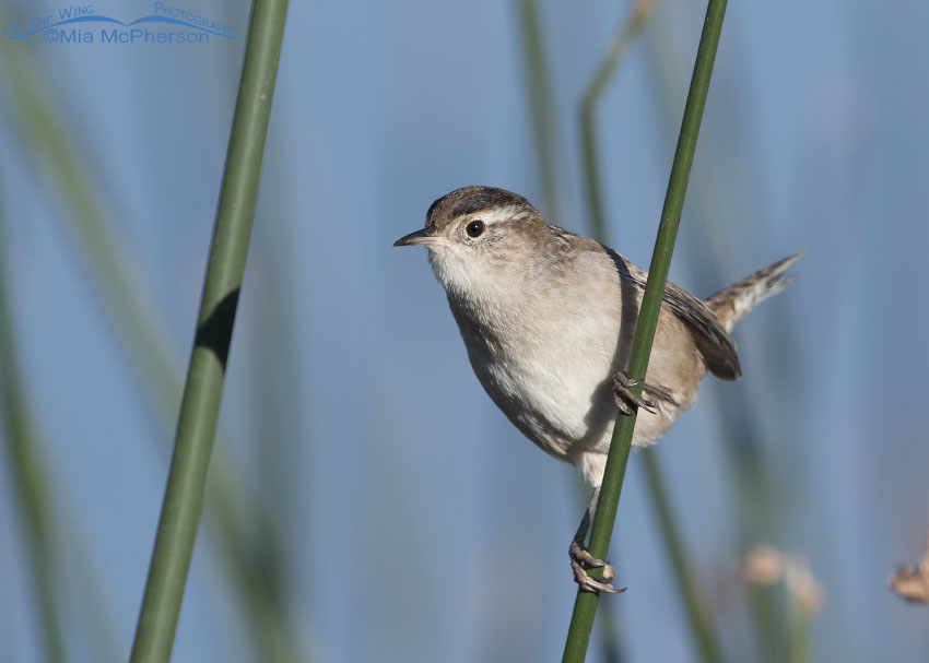 Autumn Marsh Wren