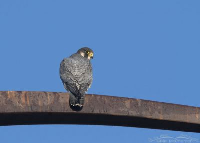 Adult Peregrine Falcon on a rusty metal perch