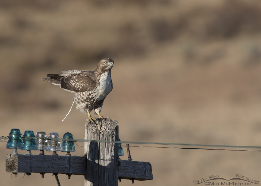 Juvenile Red-tailed Hawk letting loose on a telegraph pole
