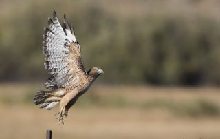 Idaho sub-adult Red-tailed Hawk lifting off