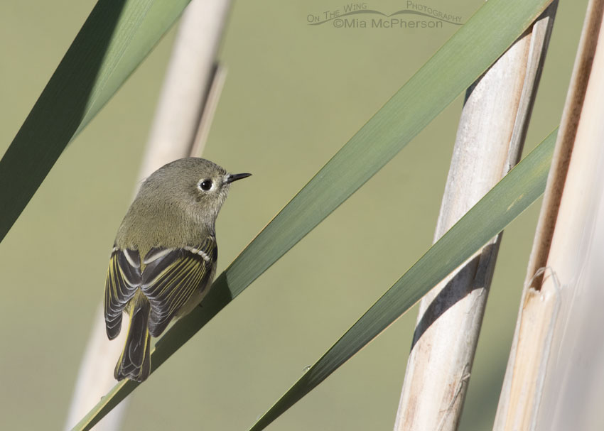 Ruby-crowned Kinglet in Cattails
