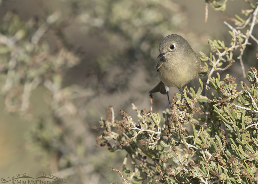 Ruby-crowned Kinglet on Greasewood