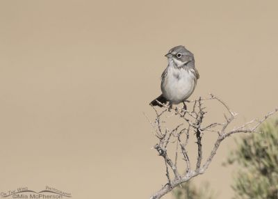 Sagebrush Sparrow perched on a dead greasewood branch