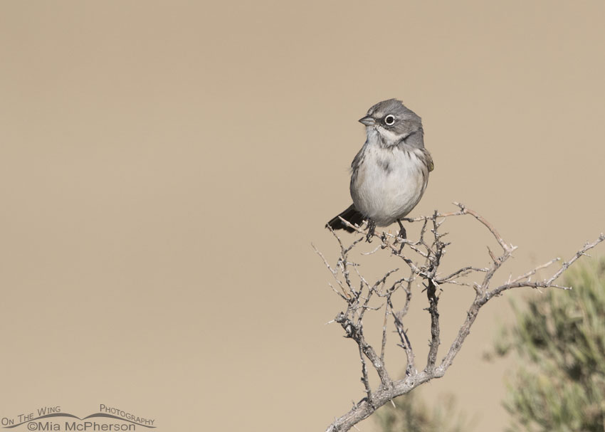 Sagebrush Sparrow Images