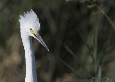 Snowy Egret portrait at Bear River MBR