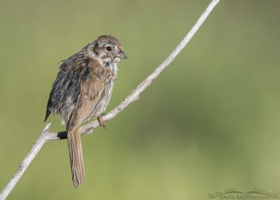 Messy immature Song Sparrow