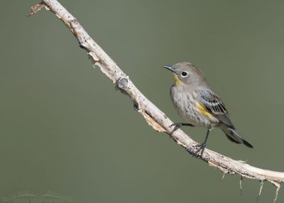 Yellow-rumped Warbler on fall migration