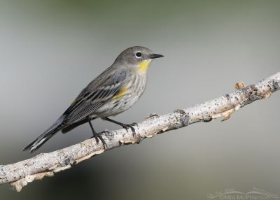 Migrating Yellow-rumped Warbler