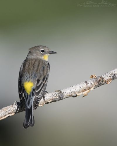 Yellow-rumped Warbler back view