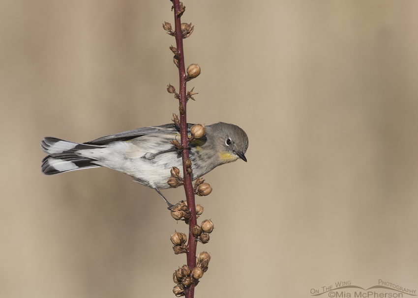 Yellow-rumped Warbler perched on Moth Mullein