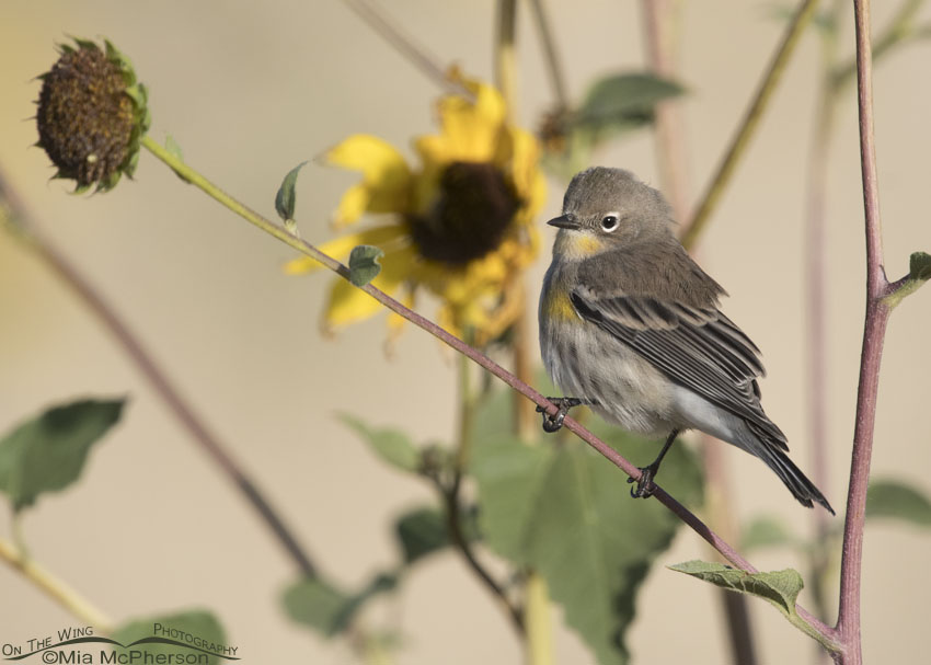 Yellow-rumped Warbler perched on wild sunflowers