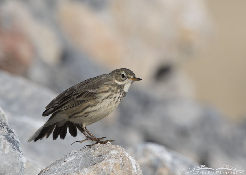 American Pipit stretching one wing
