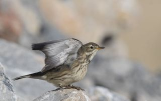 American Pipit stretching both its wings