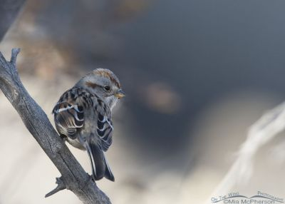 American Tree Sparrow in the shadows