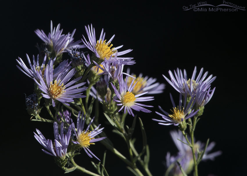 Blooming Asters in Salt Lake County