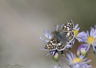 Common Checkered-Skipper on aster