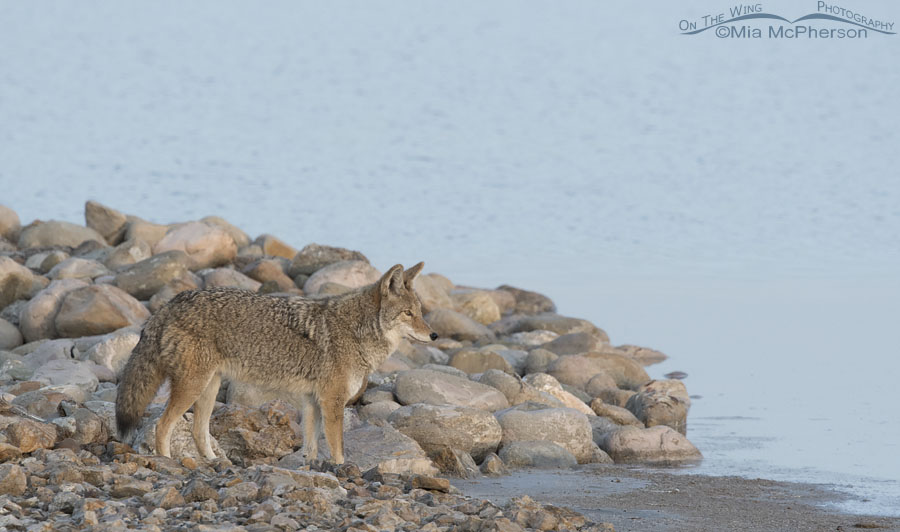 Lone Coyote in dawn's early light