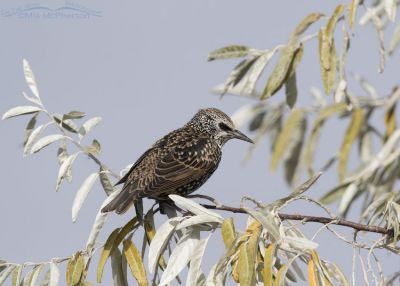 Adult European Starling in nonbreeding plumage