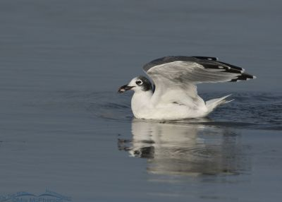 Adult nonbreeding Franklin's Gull with a fish