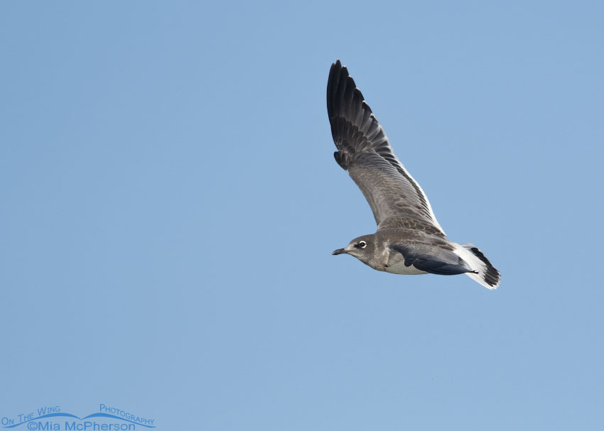Juvenile Franklin's Gull on the wing
