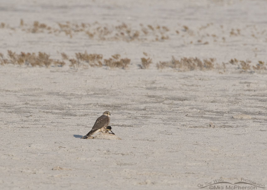 Merlin with some kind of prey out on the flats