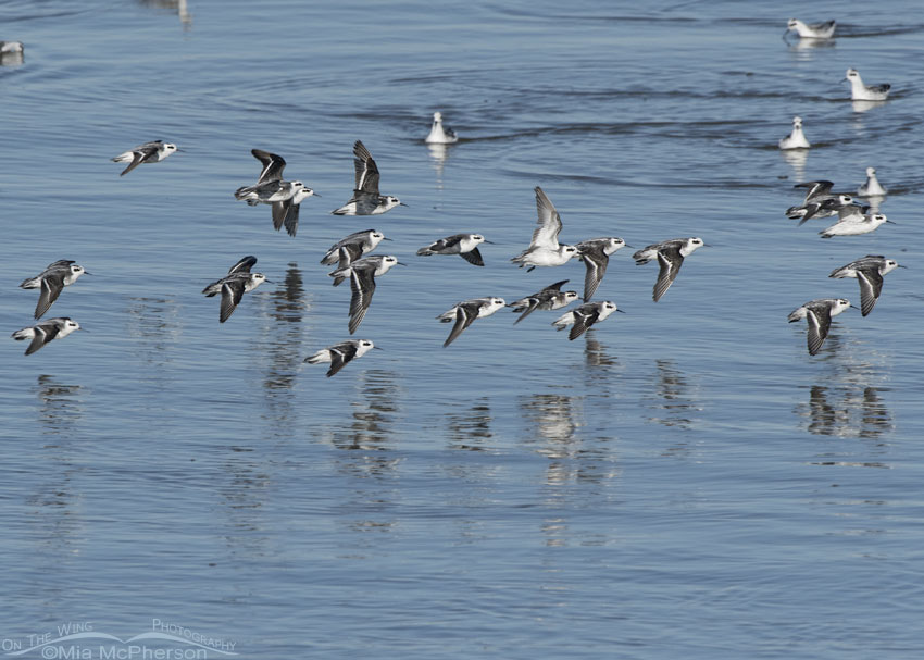Red-necked Phalarope Images