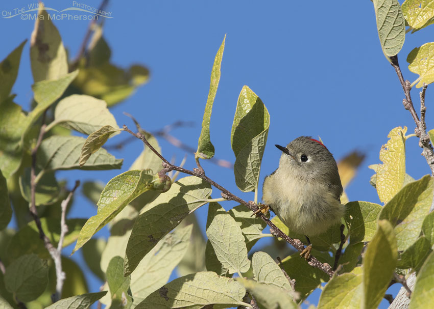 Male Ruby-crowned Kinglet on a bright, sunny day
