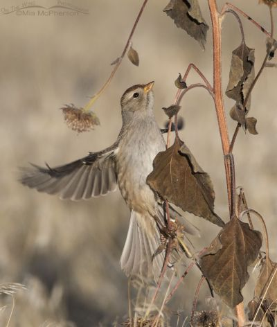 Juvenile White-crowned Sparrow flying up a sunflower stalk
