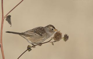 Juvenile White-crowned Sparrow feeding on wild sunflower seeds