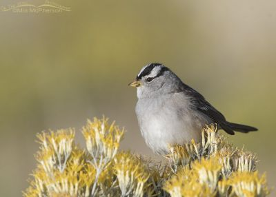 Adult White-crowned Sparrow on Rabbitbrush