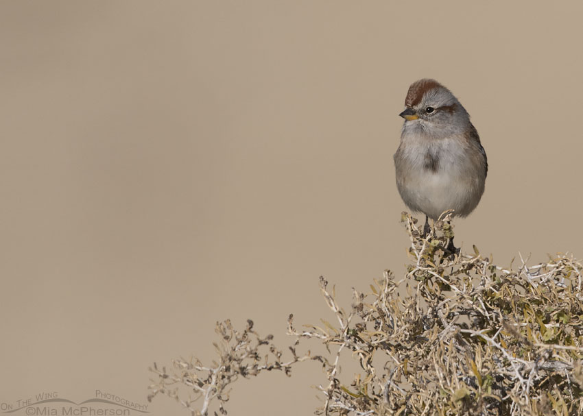 American Tree Sparrow showing its bi-colored bill