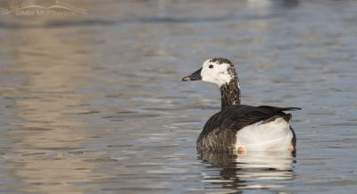 Canada x Snow Goose hybrid on a bright winter morning