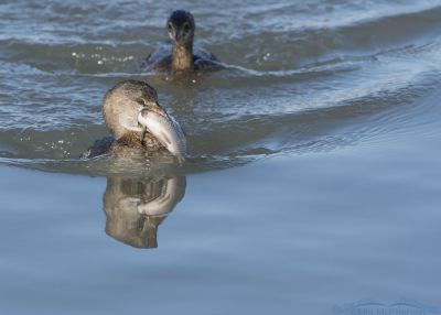Pied-billed Grebe about to be chased