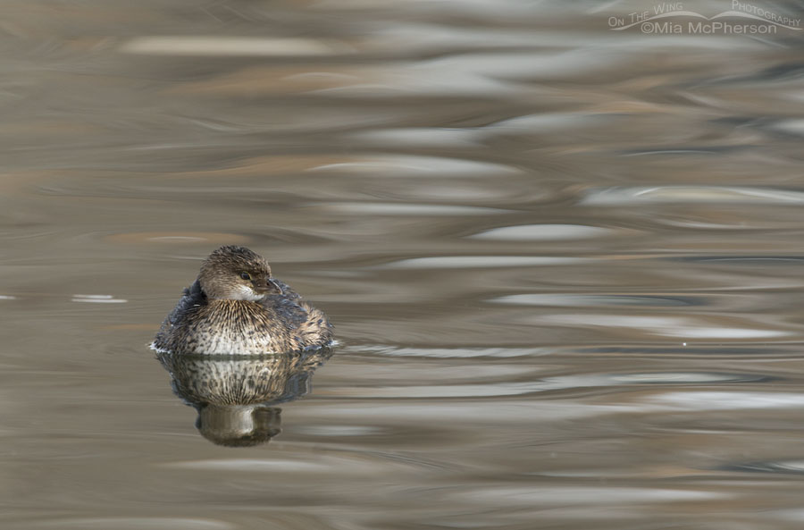 Silky water and a Pied-billed Grebe