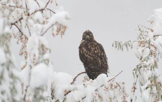 Red-tailed Hawk in a November blizzard