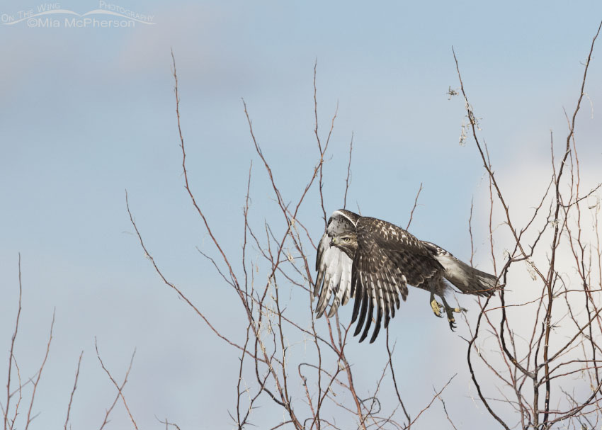Immature Red-tailed Hawk right after lifting off