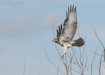 Immature Red-tailed Hawk gaining altitude in flight