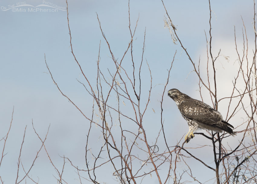 Immature Red-tailed Hawk perched on a thin branch