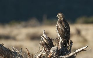 Immature Red-tailed Hawk looking at the rising sun