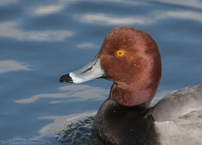 Close up of a drake Redhead