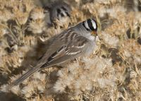 White-crowned Sparrow feeding on Rabbitbrush seeds