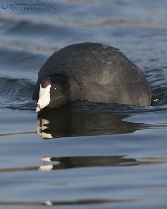 American Coot on patrol