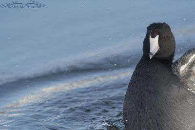 Close up of an American Coot bathing